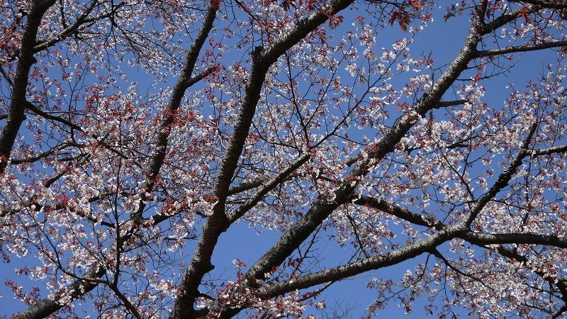 20130413山桜1.jpg