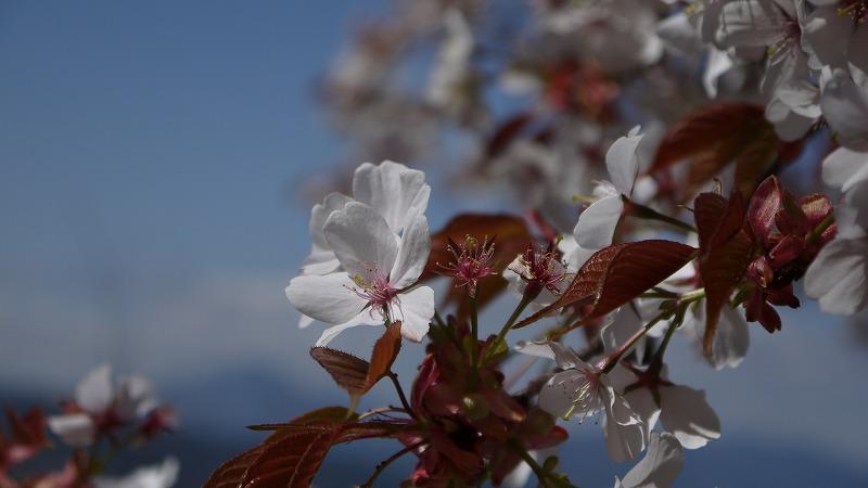 20130413山桜3.jpg